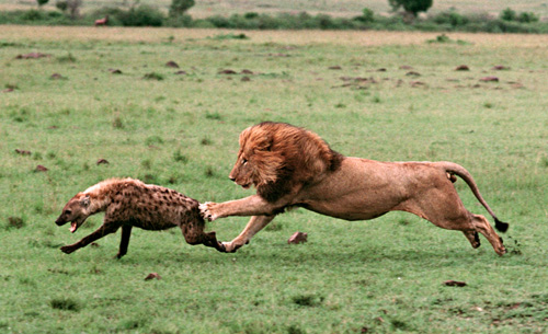 lion chases a hyena